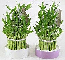 HONIC 6 Arten Glücksbambus Wählen Topf Bonsai