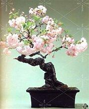 HONIC Mini Bonsai-Baum Japanische Sakura Pflanze