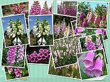 HONIC Mix FINGERHUT Blumensamen Digitalis Purpurea