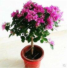 HONIC Neu! 100 Stück Bougainvillea Pflanze Staude