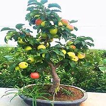 HONIC YVYOO Dwarf Apple-Bonsai Miniatur-Apfelbaum