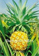 HOO PRODUCTS - Ananas comosus - Ananas 20 Samen