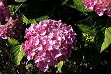 Hortensie Bauernhortensie Bouquet Rose Hydrangea