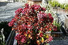 Hortensie Bauernhortensie Masja Hydrangea