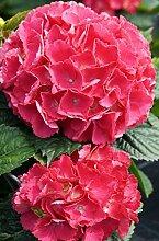 Hortensie Bauernhortensie Red Baron Hydrangea