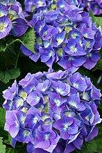 Hortensie blaue Blüte Bauernhortensie Bela