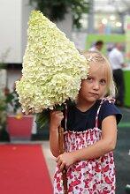 Hortensie Hydrangea Moonlight®. 1 Pflanze - zu