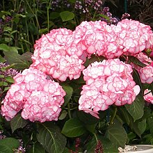 Hortensie Miss Saori weiß-pink - Hydrangea