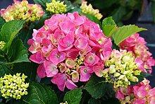 Hortensie rosa Blüte Bauernhortensie Rosita