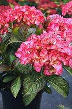 Hortensie rosa Blüte Bauernhortensie SAXON