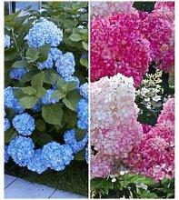 Hortensien-Sortiment blau und rosa, 2 Pflanzen