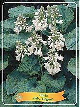 Hosta 25 cm - Funkien - Herzblattlilien Große