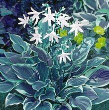Hosta Samen Bonsai Topfpflanze seltenes Kraut