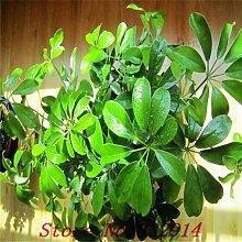 Hot Sale! 100pcs / bag Seltene chinesische Pachira Macrcarpa Seeds 20 verschiedene Bonsai-Baum-Samen Garten neue Pflanzen Anti-Radiation