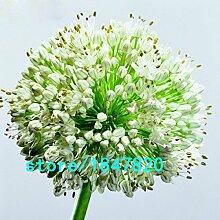 Hot Sale Seltene weiße Riesenzwiebel Blumensamen Terrasse Garten Perennial Blumentopf Zwiebelsamen 100 PCS