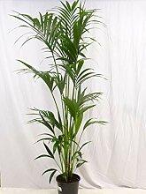 Howea forsteriana - Kentia Palme - 180 cm //