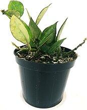 HOYA KROHNIANA Jungpflanze Echte Pflanze
