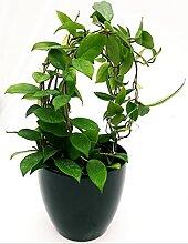 HOYA PINK BALL Vase 14cm Echte Pflanze
