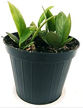 HOYA SIPITANGIS Jungpflanze Echte Pflanze
