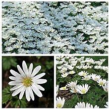 Humphreys Garden Anemone Blanda White x 100 Bulbs