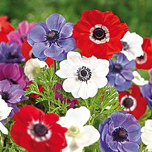 Humphreys Garden Anemone De Caen x 200 Bulbs