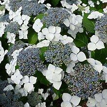 Hydrangea 'Mariesii Grandiflora -