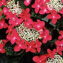Hydrangea 'Teller Red' - Tellerhortensie