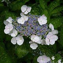 Hydrangea 'Teller White' - Tellerhortensie