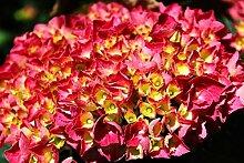 Hydrangea macrophylla Rosita (Bauernhortensie