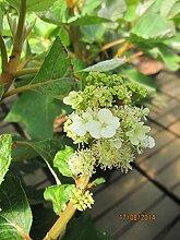 Hydrangea quercifolia Ruby Slippers - Eichenblatt