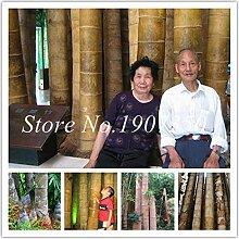 IDEA HIGH Samen-Bonsai 30 Stücke Riesen Bambus