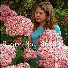 IDEA HIGH Samen-Mehrfache Farbauswahl Hortensien