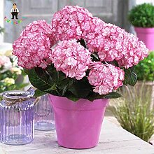 IDEA HIGH Samen-Multiple Farbauswahl Hydrangea