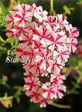 IDEA HIGH Seeds-100 Pcs Bonsai Mix Farben Verbena