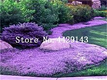 IDEA HIGH Seeds-100 Pcs Seltene ROCK Kresse Bonsai