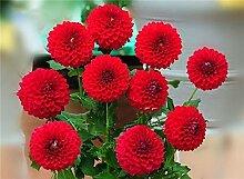 IDEA HIGH Seeds-2pcs Dahlia Bulbs Dahlia