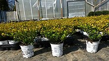 Ilex crenata Golden Gem Heckenpflanze 20 cm