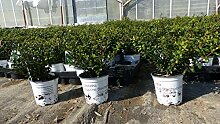 Ilex crenata Stokes Heckenpflanze 20 cm Buchsbaum