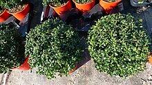Ilex crenata Stokes Kugel rund 20-25 cm Buchsbaum