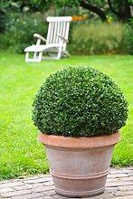 Ilex Dark Green® - Ilex crenata - Stechpalme Winterbeere Buchsbaum-Ersatz dunkel-grün schnittverträglich winterhart - Hecken-Pflanze von Garten Schlüter (ø20 cm Pflanze) - Pflanzen in Top Qualitä