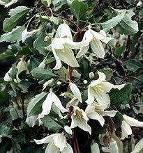 Immergrüne Duft Waldrebe Apple Blossom 100-125cm - Clematis armandii
