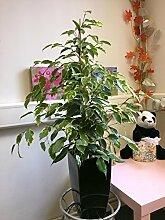 Immergrüne Efeutute / Pflanze in hohem, schwarz
