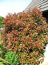 immergrüne Glanzmispel Photinia fraseri Red Robin