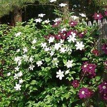 Immergrüne Hecke mit Kletterpflanzen (Clematis &