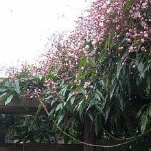 Immergruene Hecke mit Kletterpflanzen ohne Efeu -
