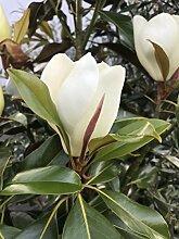 Immergrüne Magnolie - mediterrane Kübelpflanze im 25 Lt.-Topf, Gesamthöhe inkl. Topf: 200/225cm