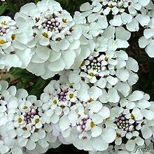 Immergrüne Schleifenblume 'Masterpiece®' - 3 Pflanze