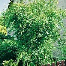 Immergrüner Bambus