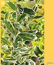 Immergrüner Japanspindel 'Marieke'