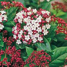 Immergrüner Winterschneeball Gwenllian (Viburnum